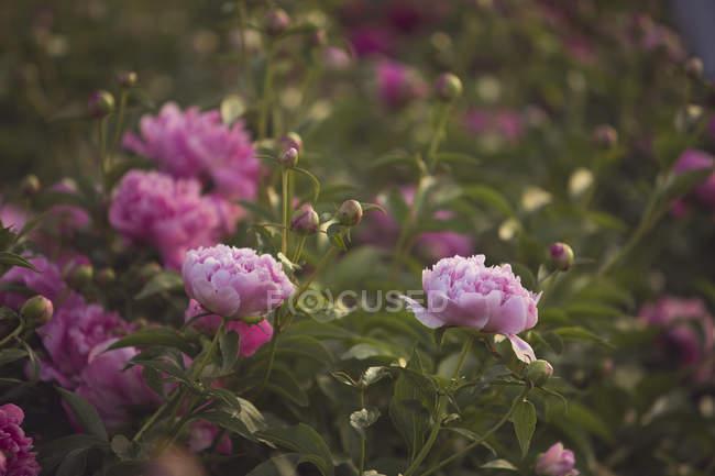 Lindas peônias florescendo no jardim — Fotografia de Stock