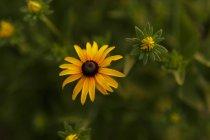Дороникум желтые цветы в поле — стоковое фото