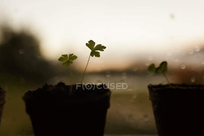 Plantes jeunes persil — Photo de stock