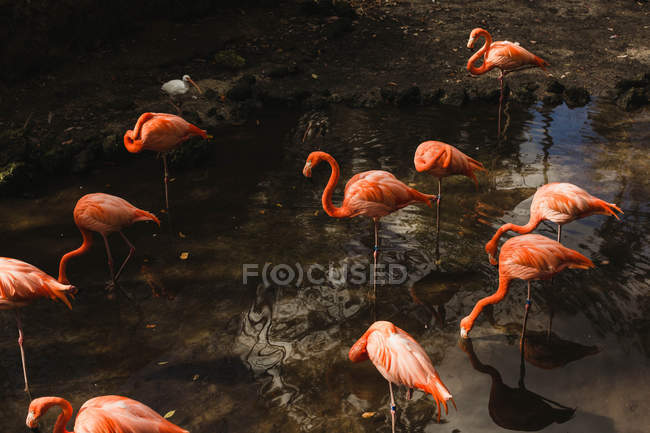 Стадо Фламинго на воде — стоковое фото
