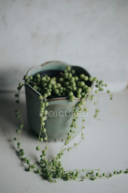 String of peal plant hanging from pot edge — Stock Photo