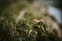 Богомол на зеленом мху — стоковое фото