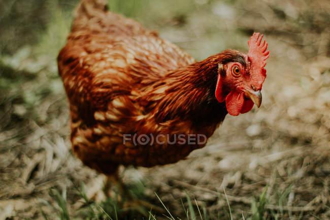 Galinha marrom na fazenda — Fotografia de Stock
