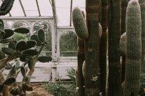 Plantas suculentas crescendo em estufa — Fotografia de Stock