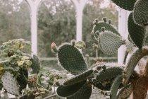 Cactos crescendo em Birmingham Jardim Botânico — Fotografia de Stock