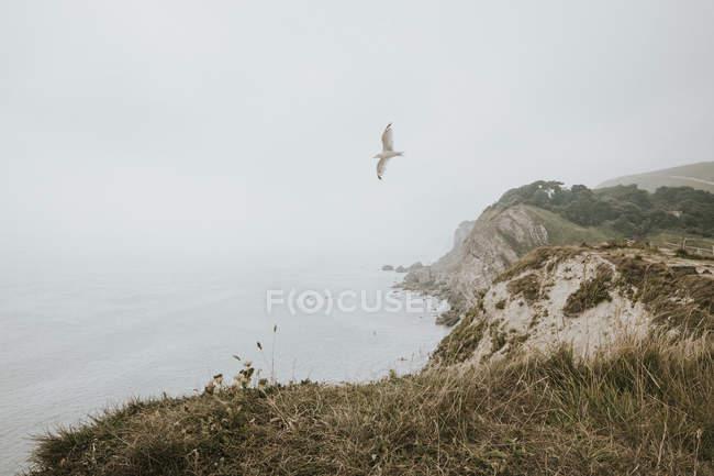 Чайка летить над Lulworth ков — стокове фото