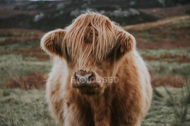 Vache écossaise des Highlands — Photo de stock