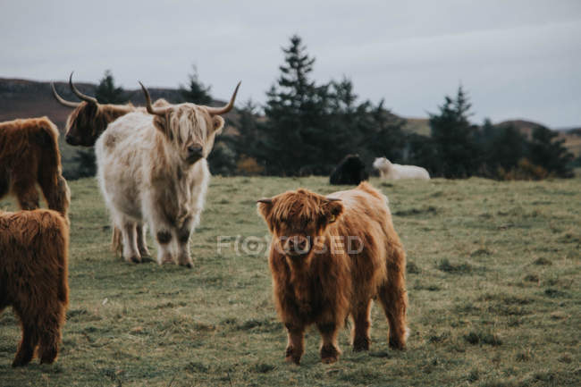 Scottish highland cows grazing in meadow, — Stock Photo