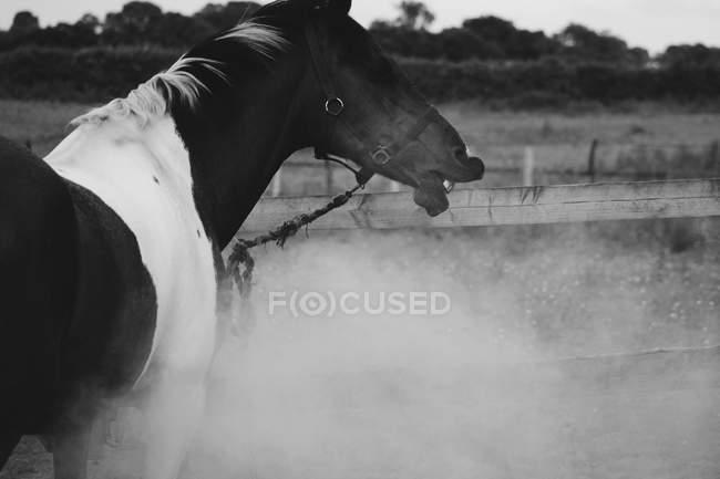 Increíble tiro de caballo en blanco y negro - foto de stock