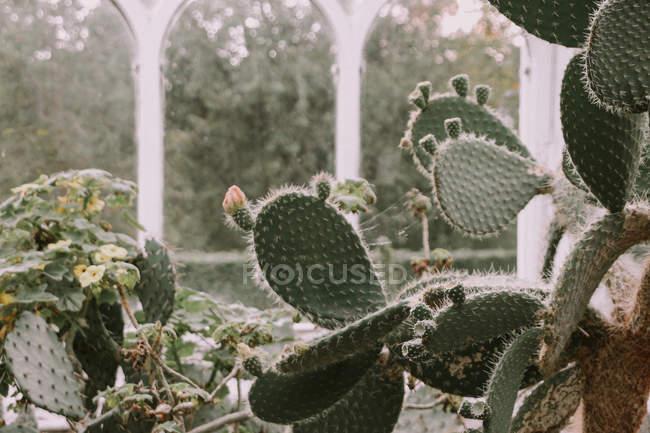 Cactus que crece en el jardín botánico de Birmingham - foto de stock
