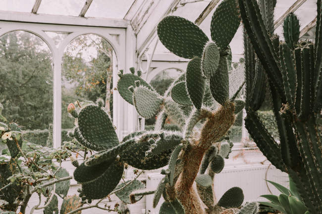 Exotic Cactuses in Glasshouse — Stock Photo