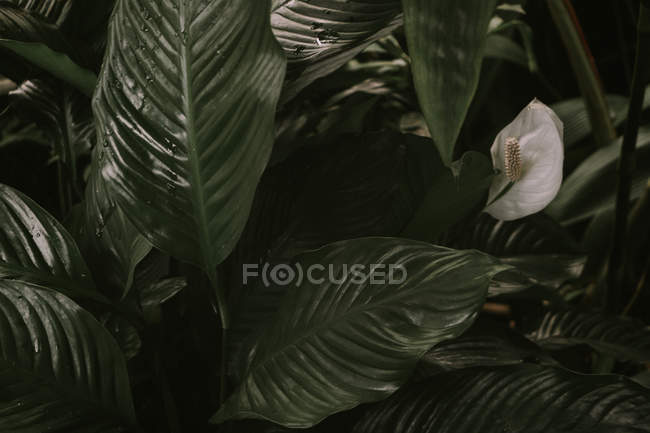 Spathiphyllum o Peace Lilly — Foto stock