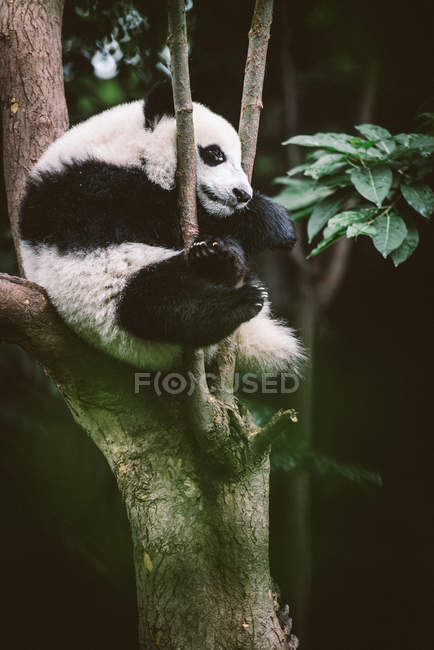 Baby giant panda — Stock Photo