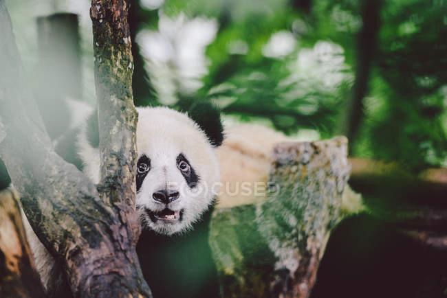 Baby panda gigante — Foto stock