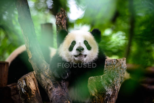 Baby giant panda — Stock Photo