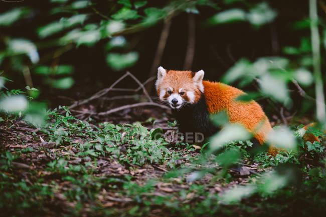 Panda rouge dans la nature — Photo de stock