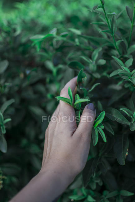 Woman hand touching green leaves — Stock Photo