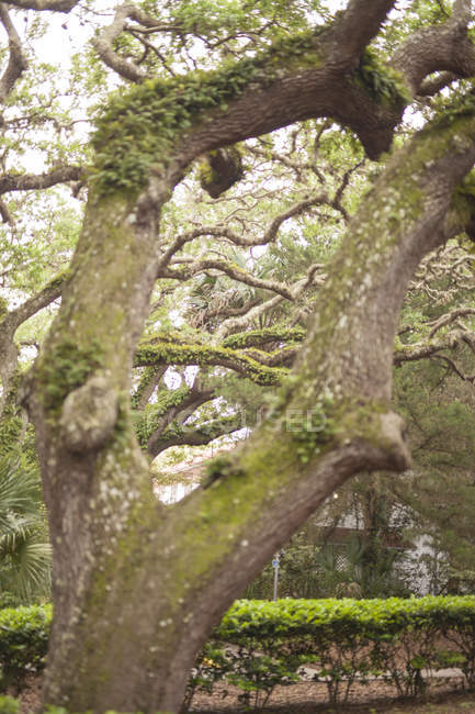 Willow trees with moss during daytime in Saint Augustine, Florida, USA — Stock Photo