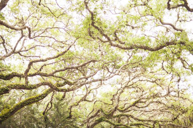Weiden mit Moos tagsüber in Saint Augustine, Florida, Usa — Stockfoto