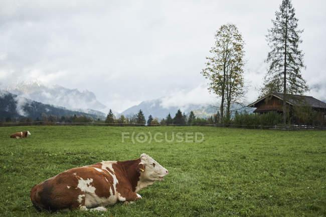 La vache sur le terrain dans les Alpes bavaroises, Berchtesgaden, Allemagne — Photo de stock