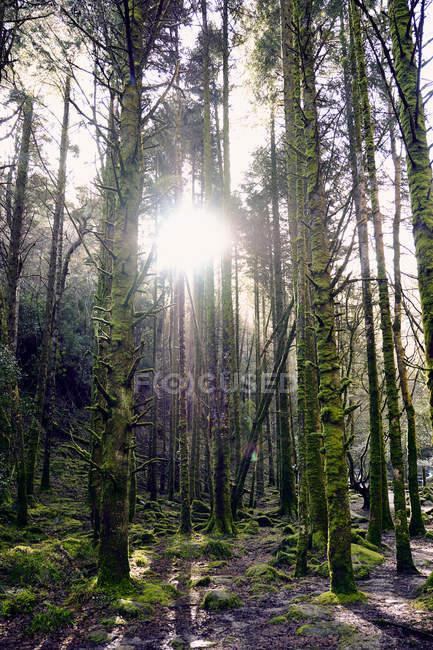 Árvores cobertas de musgo de Killarney National Park, no Condado de Kerry, Irlanda, Europa — Fotografia de Stock