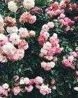 Buisson aux roses roses — Photo de stock