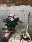 Женщина Холдинг розы в горшок — стоковое фото