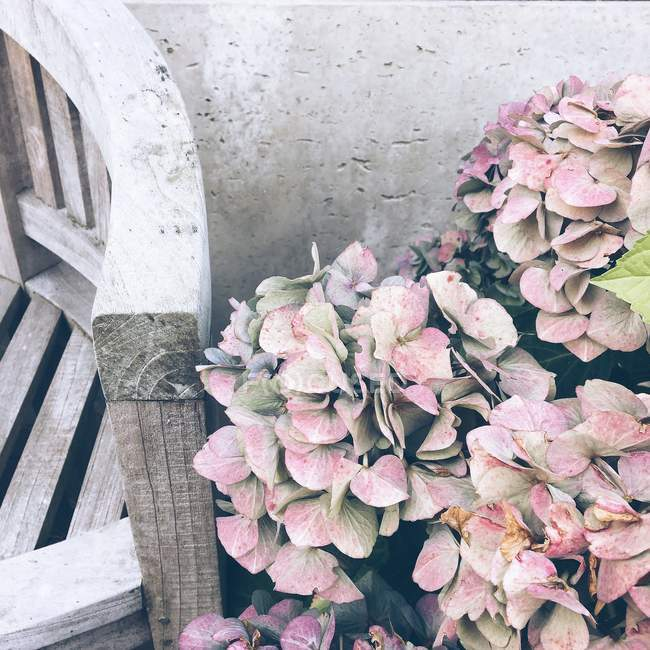 Pastel hydrangea flowers — Stock Photo