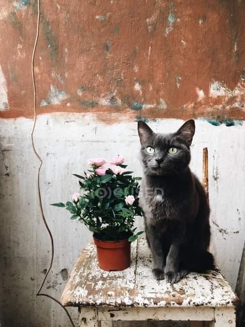 Gatto seduto vicino a rose in vaso — Foto stock