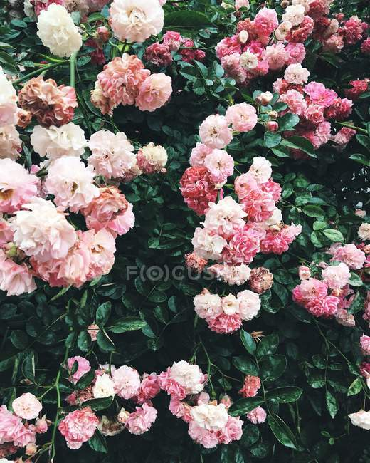 Bush with pink roses — Stock Photo