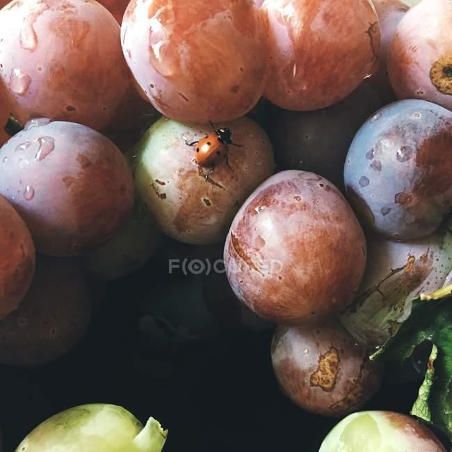 Ladybug sitting on fresh grapes — Stock Photo