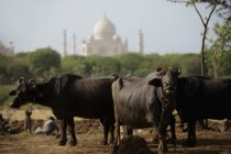 Коровы с Тадж-Махал в фоновом режиме. — стоковое фото
