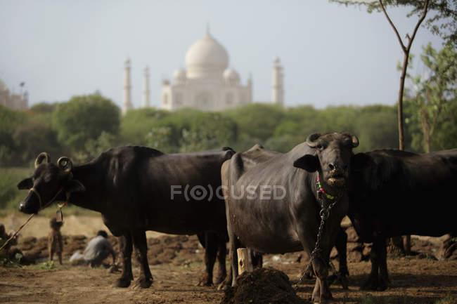 Vaches avec le Taj Mahal en arrière-plan . — Photo de stock