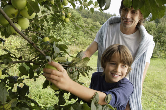 Батько і син, вибираючи яблука — стокове фото
