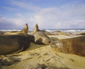 Elephant seals, Falkland Islands — Stock Photo