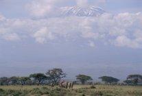 Parc national d'Amboseli — Photo de stock