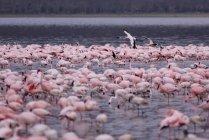 Pink flamingos on Lake — Stock Photo