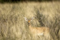 Steenbok, Kgalagadi National Park — Fotografia de Stock