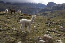 Lama e alpaca, Ande — Foto stock