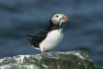 Puffin with sandeels in bill — Stock Photo