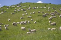 Ewes and lambs, North Island — Stock Photo