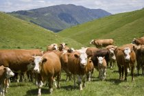 Veaux et vaches Simmental — Photo de stock