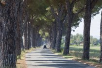 Pine trees lined road — Stock Photo