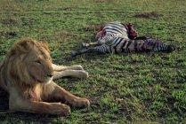 Leone protezioni del sua zebra appena pescata — Foto stock