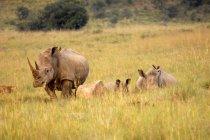 Grupo de rinocerontes blancos - foto de stock
