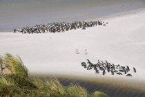 Magellan-Pinguine, Yorke Bay — Stockfoto