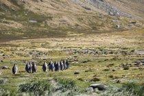 Королевские пингвины, Moltke гавань — стоковое фото