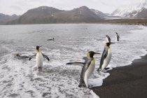 Rei pinguins, Baía de St. Andrews — Fotografia de Stock