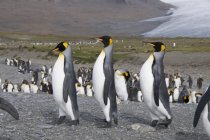 König, Pinguine, St. Andrews Bay — Stockfoto