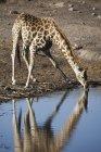 Giraffe drinking at waterhole — Stock Photo